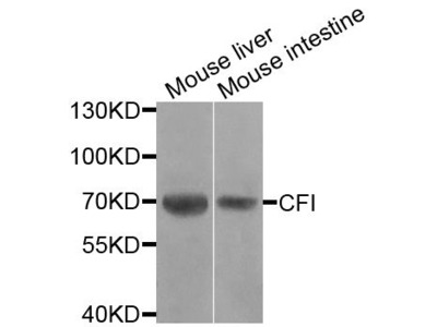 CFI Polyclonal Antibody