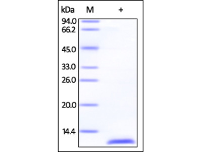 Human S100A1 Protein