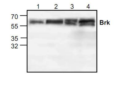 Brk Antibody