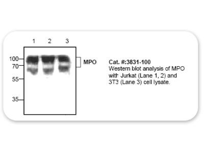 Myeloperoxidase (MPO) Antibody