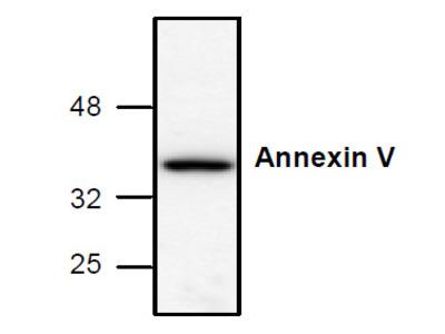 Annexin V Antibody