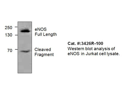 eNOS Antibody