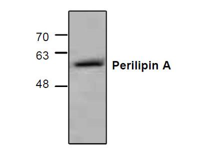 Perilipin A Antibody