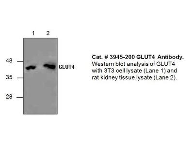 GLUT4 Antibody