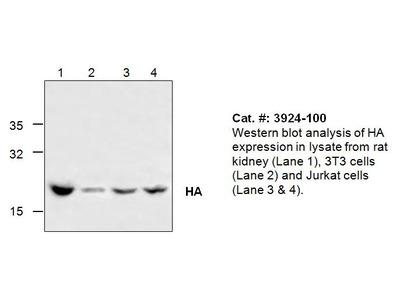 HA (Influenza A Virus Hemagglutinin) Antibody