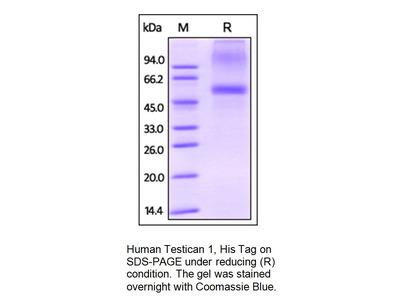 Human CellExp™ Testican-1, human recombinant