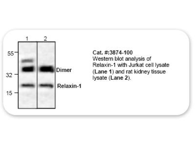 Relaxin-1 Antibody