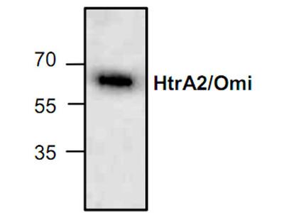 HtrA2/Omi Antibody