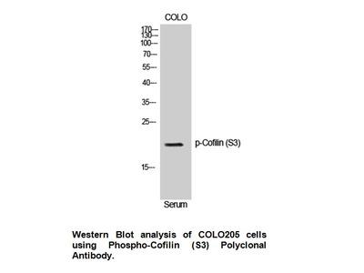 Phospho-Cofilin (Ser3) Antibody