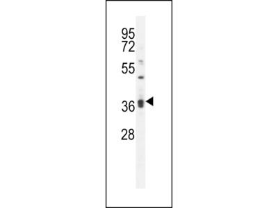 KLHL35 Antibody