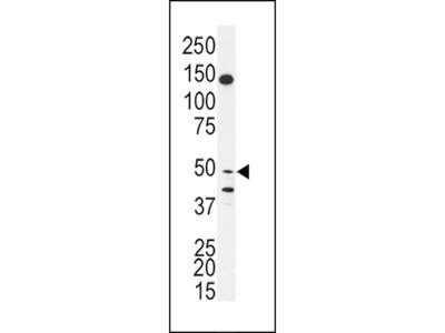 BPIL1 Antibody
