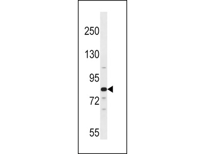 ARNT2 Antibody