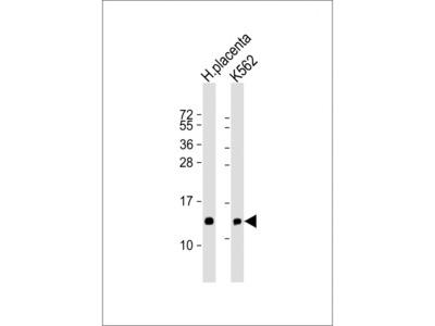 HBE1 Antibody