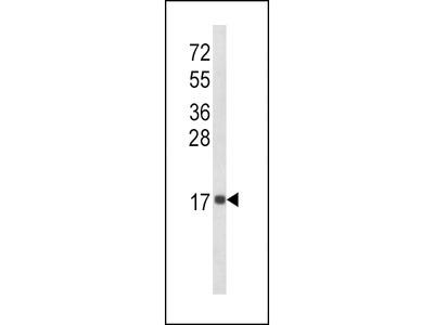 IL8 Antibody