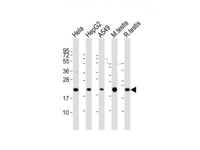 PTGES3 Antibody