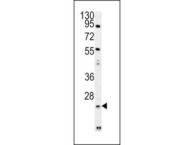 LYPL1 Antibody