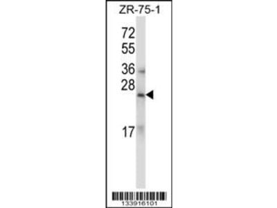 RLN1/RLN2 Antibody