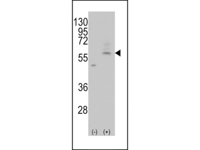 PMAT Antibody
