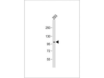 NaK ATPase Antibody