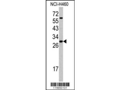 SFRS5 Antibody