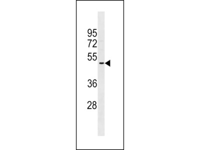 OR2A5 Antibody