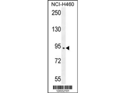 SPARCL1 Antibody