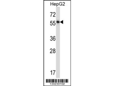 NFIA Antibody