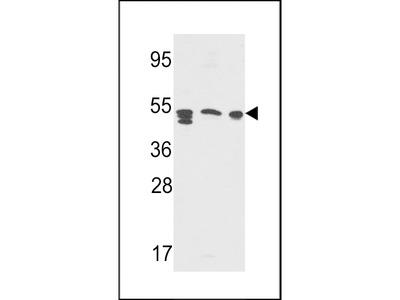 SAP Antibody