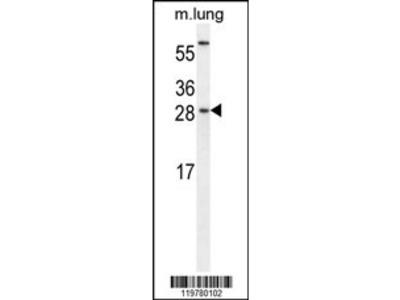 CEBPG Antibody