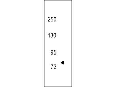 TRKC Antibody