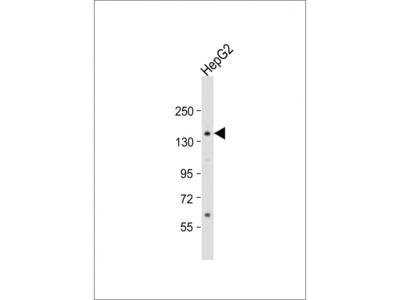 AOX1 Antibody