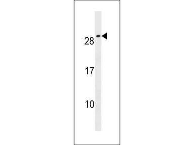CFC1B Antibody