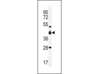 VSIG8 Antibody
