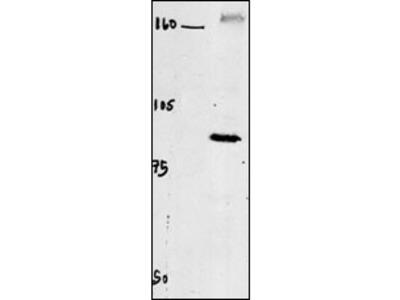 CLC4 Antibody
