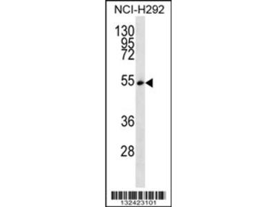 SFRS11 Antibody