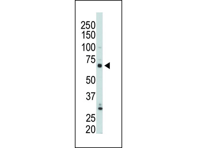 PIP5KI gamma Antibody