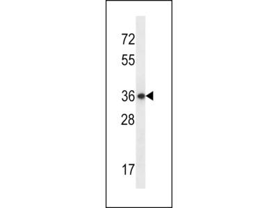 EAPP Antibody