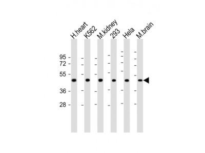 GDF11 Antibody