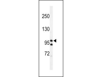 TAF2 Antibody