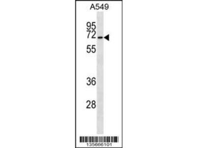 CSRNP3 Antibody