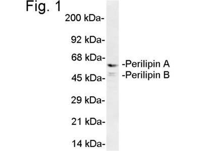 Perilipin A/B Antibody
