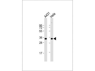 PP2A alpha Antibody