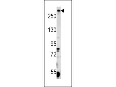 PCM-1 Antibody