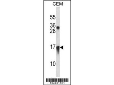 CXCL11 Antibody