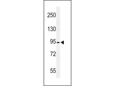 CF097 Antibody