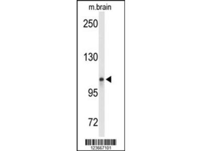 LONP2 Antibody