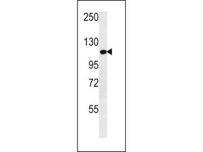 Metabotropic Glutamate Receptor 3 Antibody