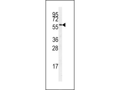 STK23 Antibody