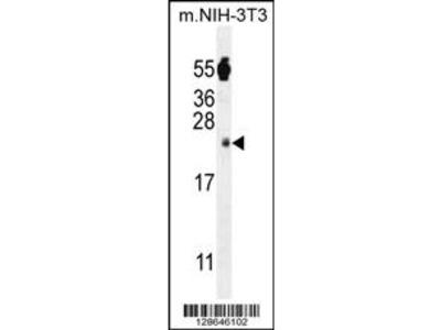 FA96A Antibody