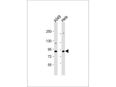 XRCC5 Antibody